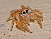 Pale Jumping Spider