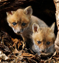 Fox Kits by John White