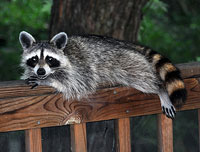 Racoon on the porch